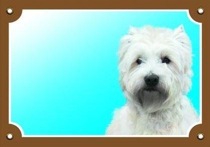 Farebná ceduľka Pozor pes West highland white terier